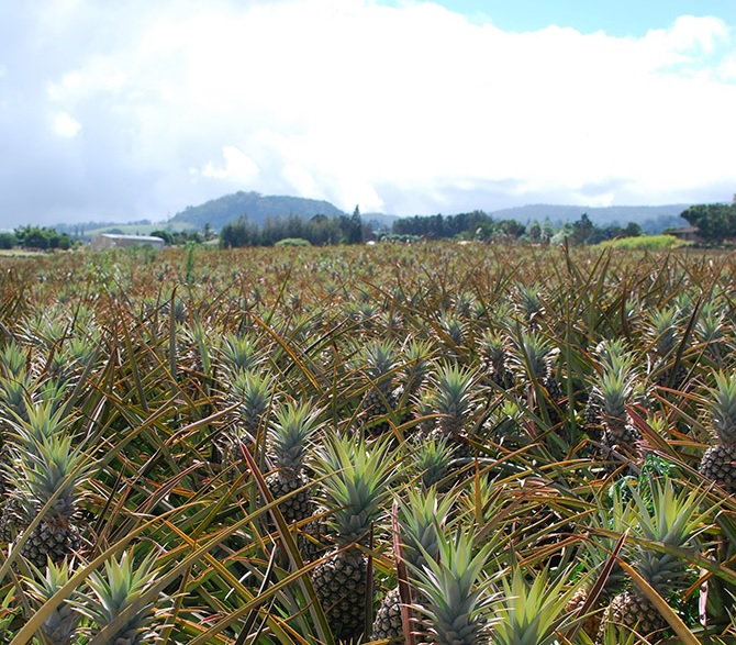 Maui Pineapple Tour Only Working In America