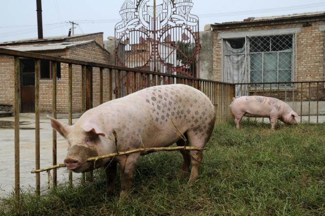 Wim Delvoye, Art Farm Beijng 2003-2010, Live tattooed pigs