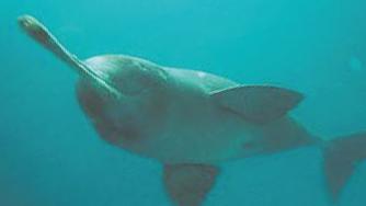 Gange Dolphin