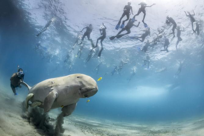 Douglas Seifert, The pull of a dugong, USA | Courtesy of Wildlife Photographer of the Year