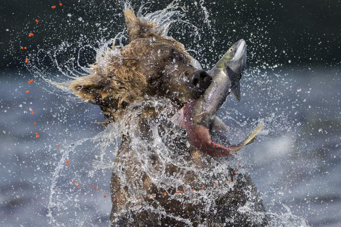 Valter Bernardeschi, Sockeye Catch, Italy | Courtesy of Wildlife Photographer of the Year