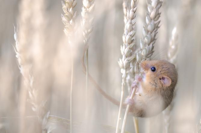 Etienne Francey, Harvest Gold, Switzerland | Courtesy of Wildlife Photographer of the Year