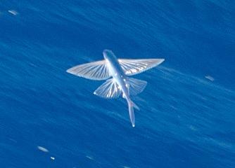 Flying Fish | © Theron Trowbridge/Flickr