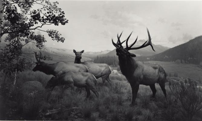 Hiroshi Sugimoto, Wapiti, Gelatin silver print 34.9 x 58.7cm (13 3/4 x 23 1/8in) J. Paul Getty Museum, 1980 | Courtesy Gallery & Artist