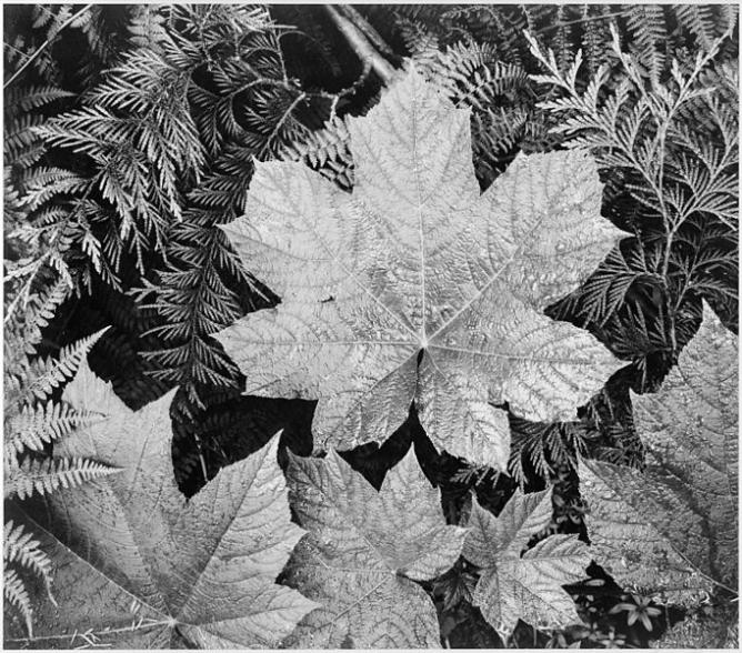 Ansel Adams, close-up of leaves, from directly above in Glacier National Park, National Archives and Records Administration