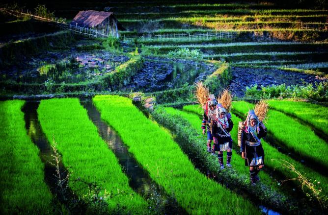 Ahka working in terrace rice field | © David Heath