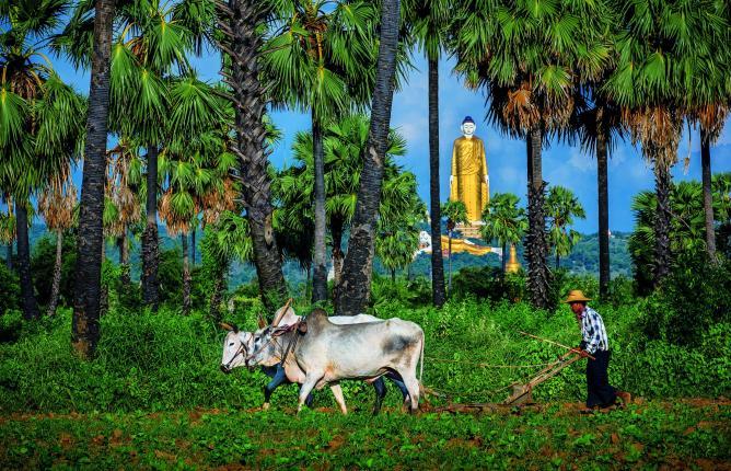 Burmese livestock | © David Heath