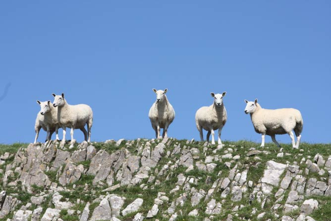 Sheep on the Gower Peninsula