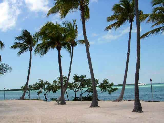 Coconut Palms like these in Islamorada, flourish in the tropical climate of the Florida Keys