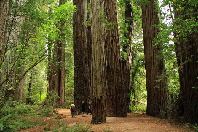 Stout Memorial Grove in Jedediah Smith Redwoods State Park near Crescent City in northern California, United States of America