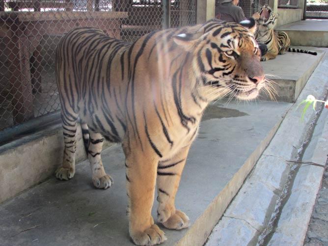 Tiger at the Tiger Kingdom