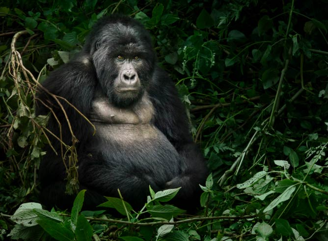 Mountain Gorilla, Uganda | © Weesam 2010 / Flickr