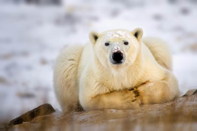 Polar Bear Taking a Break | © Steve Perry / Flickr