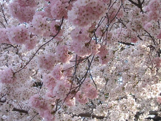 A Creative Commons image: Cherry Blossoms | © Wikipedia