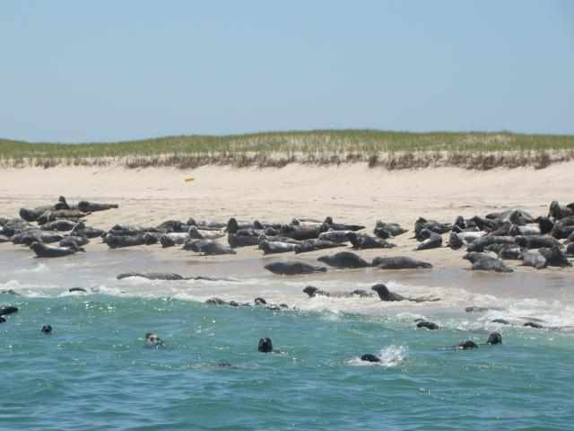 Seals Lounging on Monomoy Island