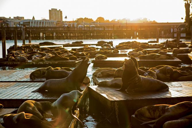 Sea Lions: © Pier 39