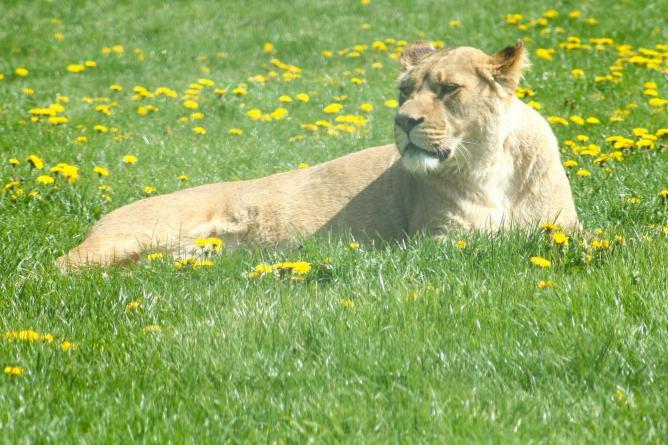 Lions at Longleat Safari Park | © James F Clay/Flickr