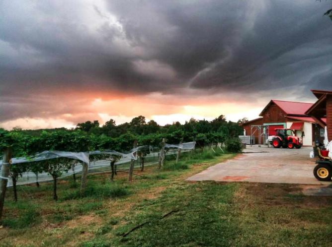 Harvest season at Overmountain Vineyards | Courtesy of Overmountain Vineyards