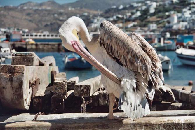 Mykonos pelican | © Heiko Gorski/WikiCommons