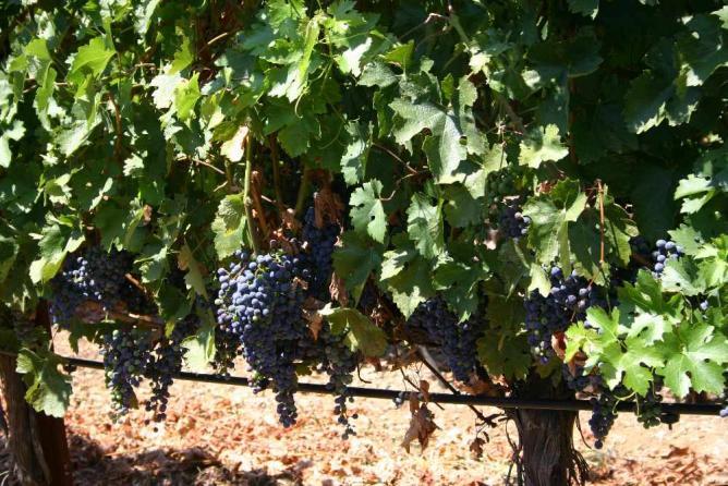 Vineyard   © MPerel/WikiCommons