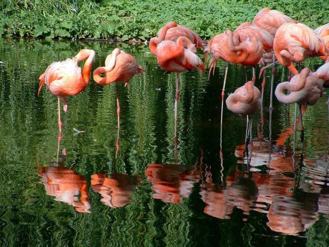 Flamingos, Heidelberg Zoo | © Max Braun/WikiCommons