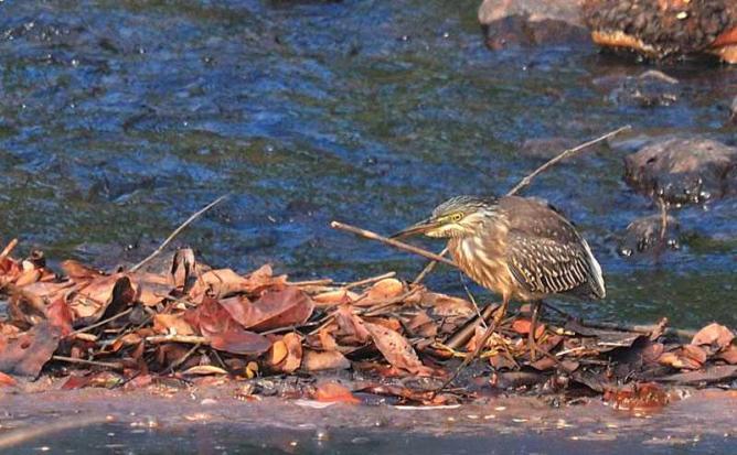 Little Heron | © Srihari Kulkarni /Flickr