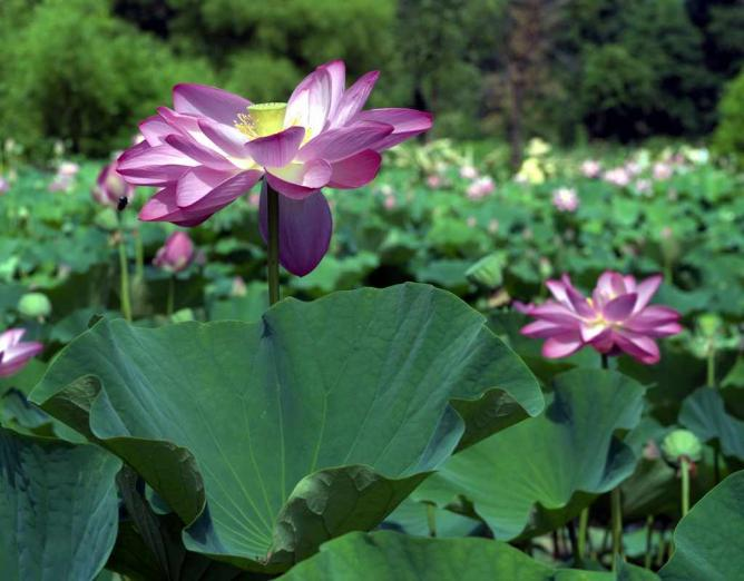 The lilies and lotus are a tourist draw for Kenilworth Park & Aquatic Gardens during the spring and summer months.