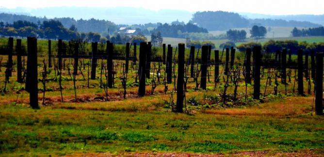 Vineyard in Uruguay © Rodrigo Soldon/Flickr