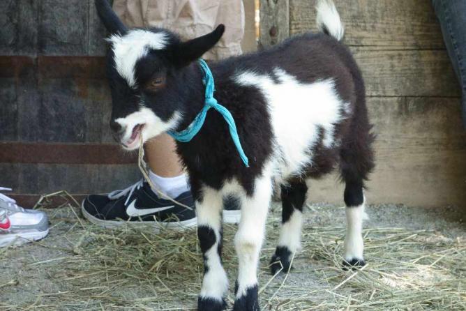A goat kid