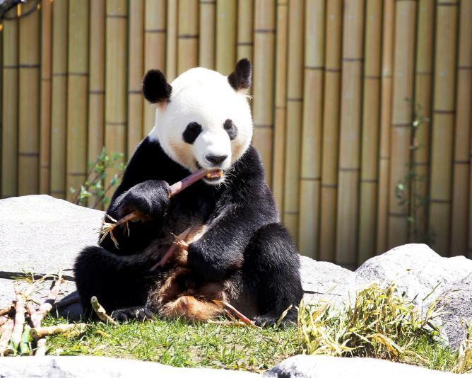Panda | © Toronto Zoo