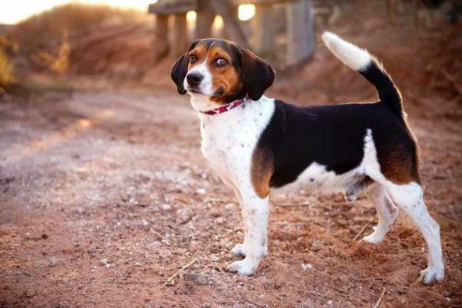 Bronx the Beagle (Dogs Without Borders) | Courtesy of Amanda Ingram
