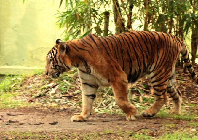 Tiger at Mysore Zoo