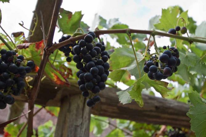 Wine arbour | © lichtmops/Flickr