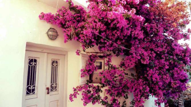 Flowers in Chora