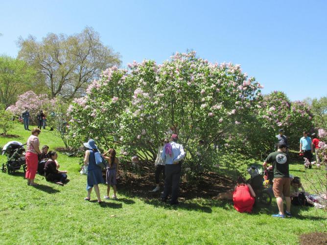 Lilac Sunday 2014, Arnold Arboretum, Jamaica Plain