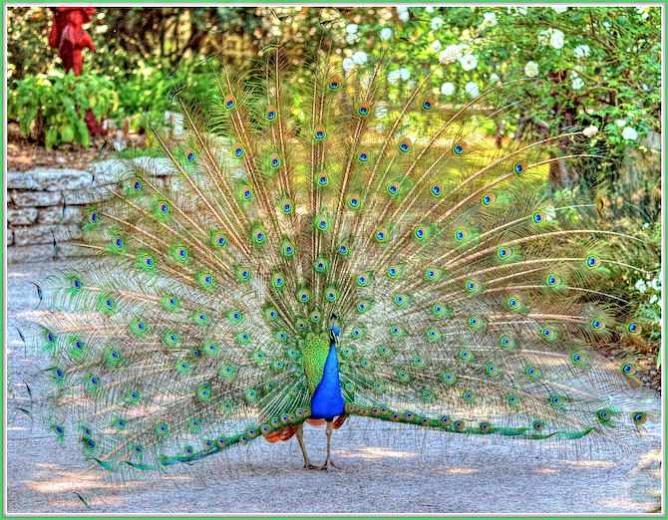 A Peacock at the Arboretum | © tdlucas5000/Flickr