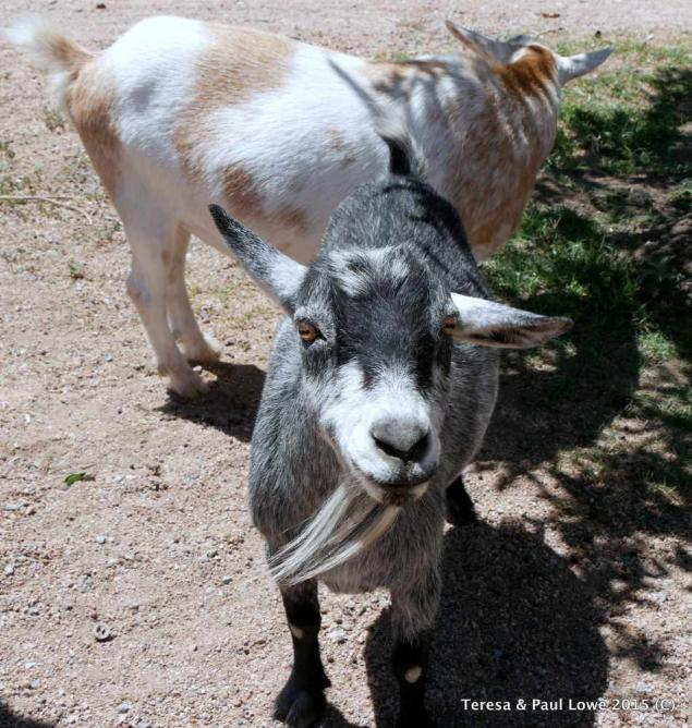 These two friendly goats are part of the welcome committee at Grand Canyon Western Ranch!