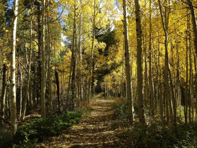 Aspen lined path
