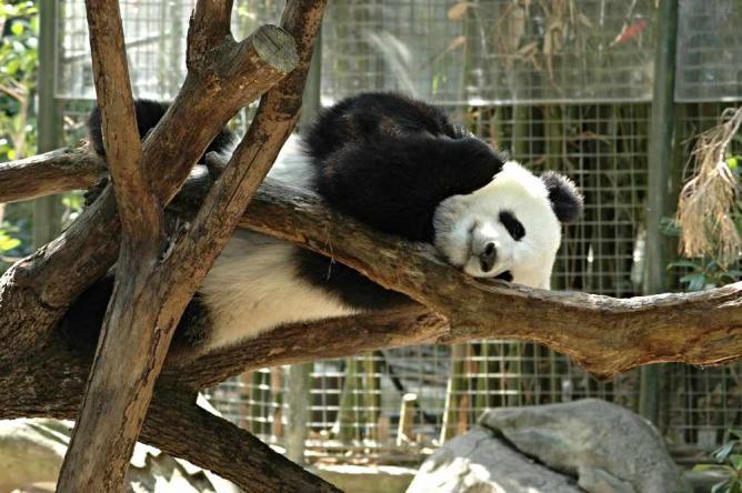 Sleeping Giant Panda at San Diego Zoo