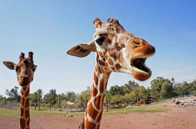 Giraffes | © Sea Turtle/Flickr