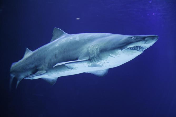 Shark at the Aquarium l Courtesy of Universeum