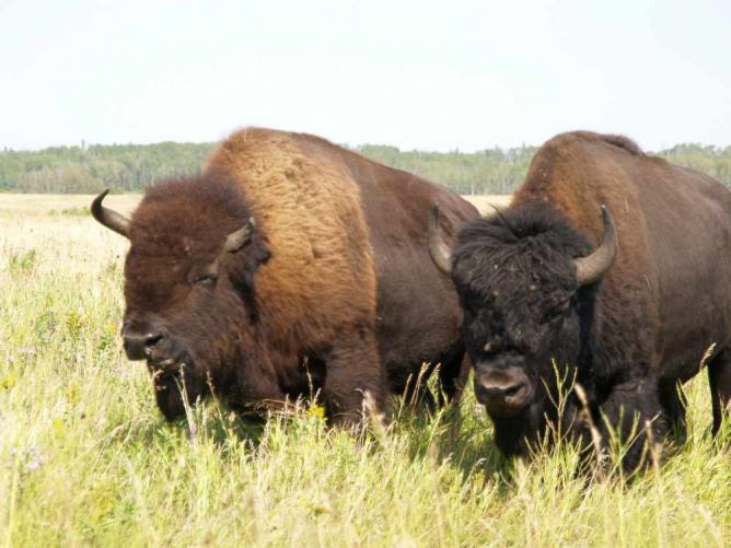 Grazing bisons | © Craig Bennett/Flickr