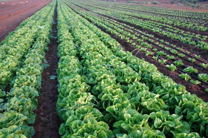 Crops watered by drip irrigation