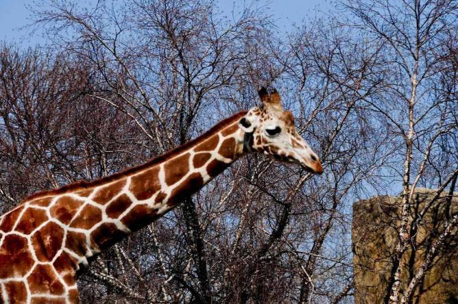 Giraffe at the Lincoln Park Zoo|©Valerie Everett/Flickr