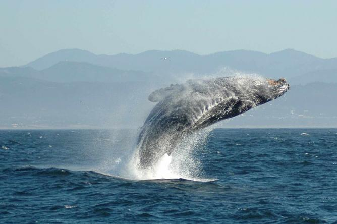 Jumping Humpback Whale | © Zorankovacevic/WikiCommons
