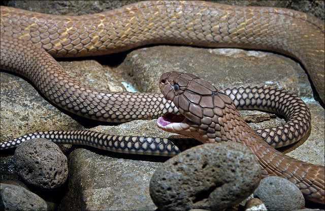 King Cobra | © Jason Wesley Upton/Flickr