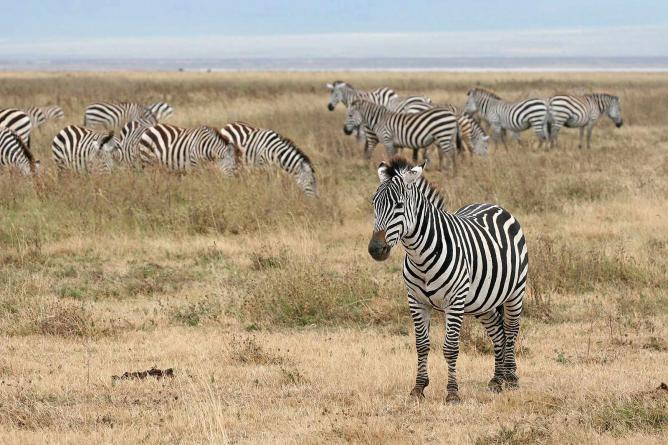 Zebras at Ngorongoro Crater I © Muhammad Mahdi Karim/WikiCommons