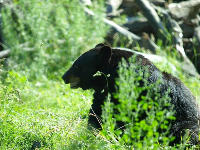 Black Bear - Calgary Zoo