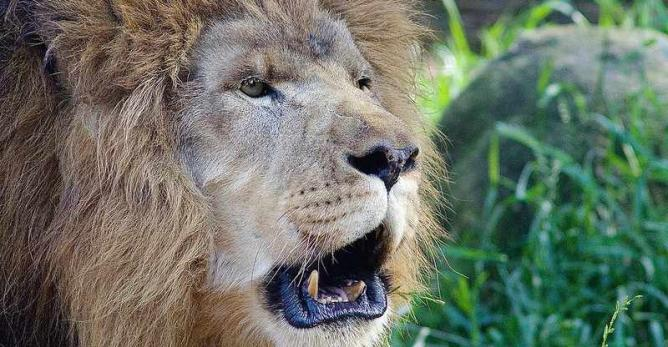 Male Lion at Riverbanks Zoo | © UcamariPhotography/Flickr