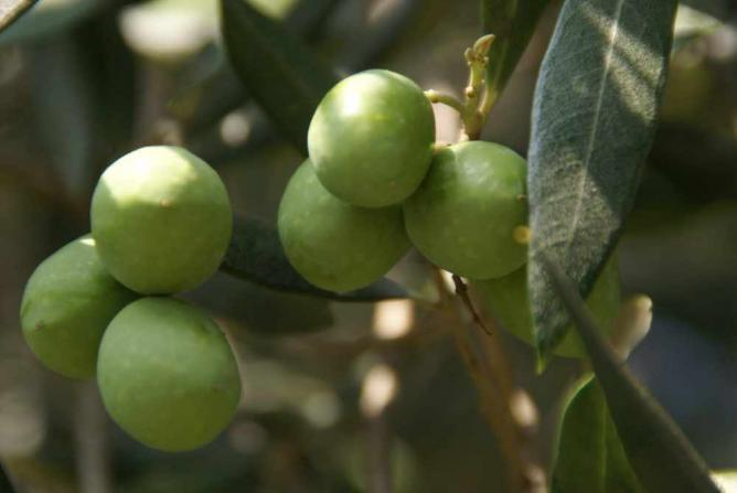 Olives in Lugano ©Patrik M. Loeff/Flickr